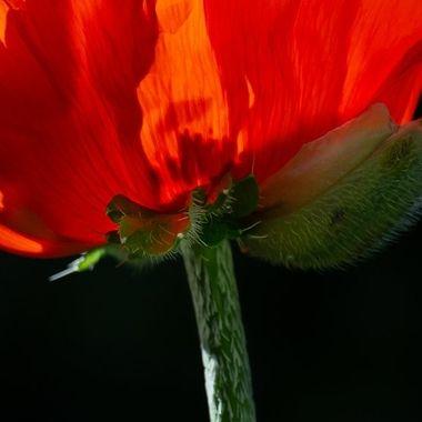 stem of a poppy flower with remnants of the bud