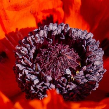 Purple Heart in an orange poppy