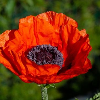 orange poppy in my garden