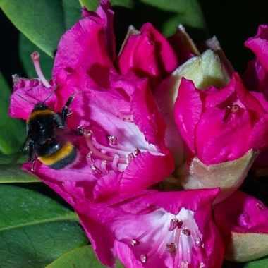bumble bee gathering nectar on a rhododendron in my garden