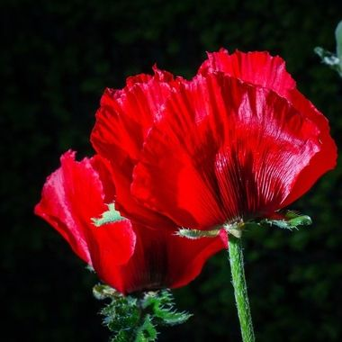 poppies in my garden, off camera flash