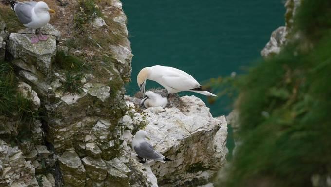 Bempton Cliffs nursery