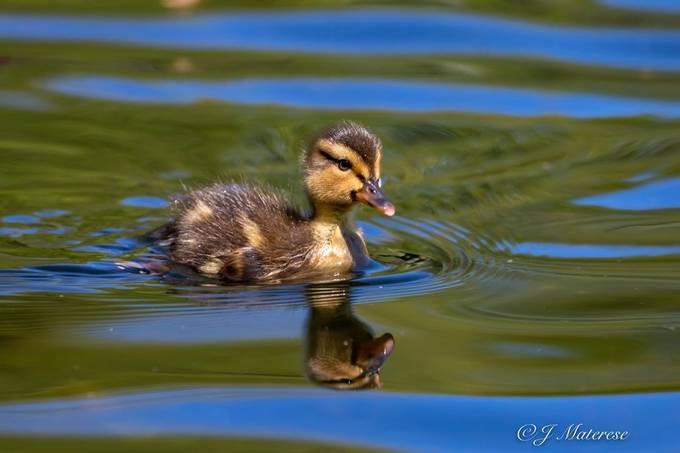 Duckling 4