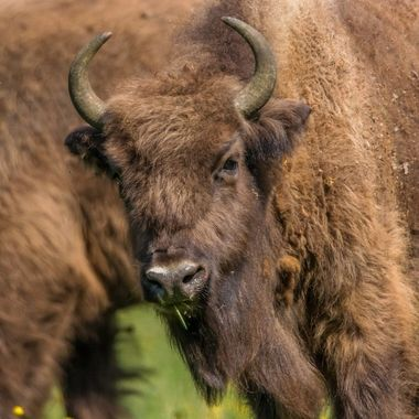 Young wisent, Flevopark, Holland