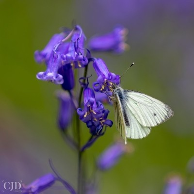 Bluebells Provide Some Of The Sweetest Nectar