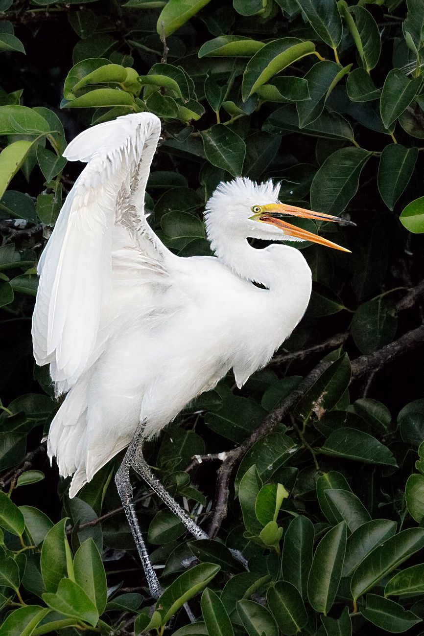 A great white egret raises its wings in the shade of a large Ficus tree.