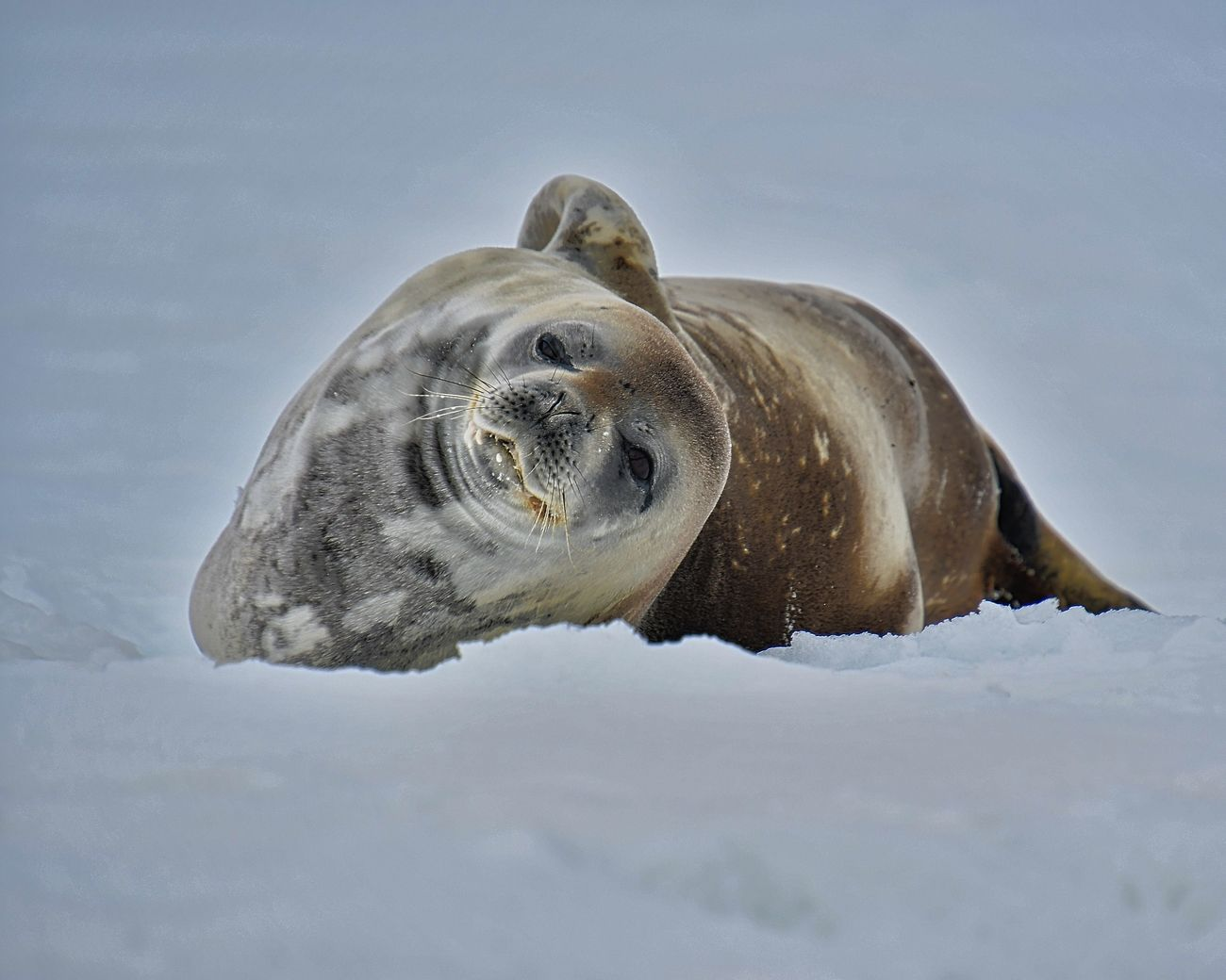 Weddell seal lounging in the snow on Mikkelsen Harbour, Antarctic Peninsula
