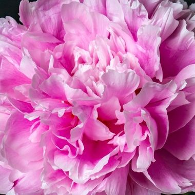 detail of a peony, studio, combination of flash and natural light