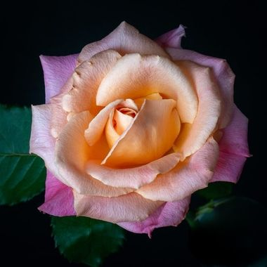 Beautiul pastel colors of a rose photographed from above with combination of flash and natural light.