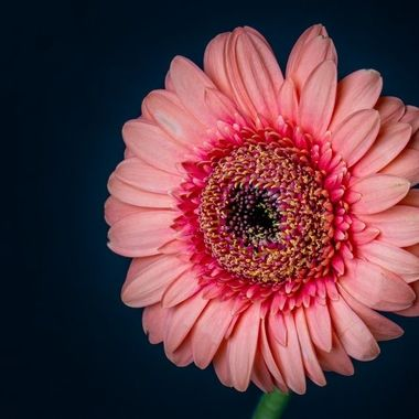 Gerbera photographed with combination of flash and natural light
