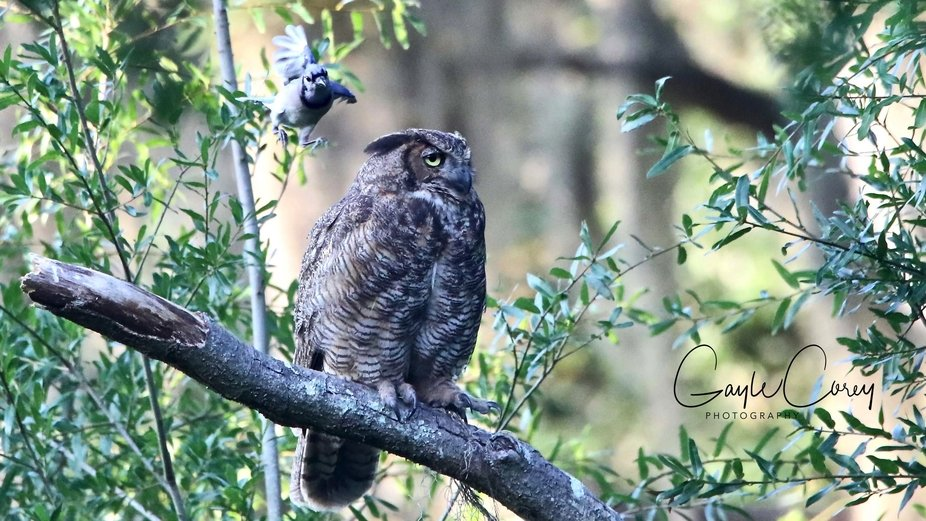 This Owl was driven out of my yard by other birds head and body slamming him. The Great Horned Ow...