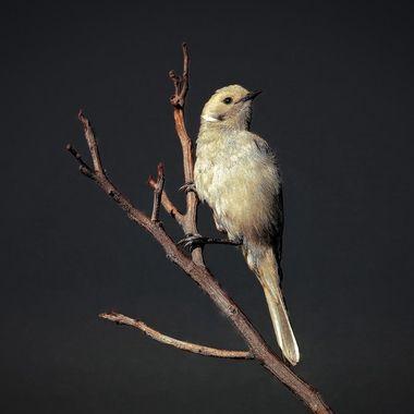 Birdlife of Western Australia