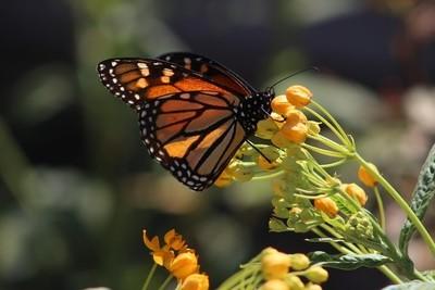 Monarch butterfly 7.JPG