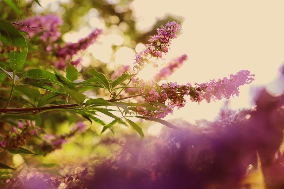 Having some artsy, fun in the sun with my Butterfly Bush, hehe! Pretty much straight outta the ca...