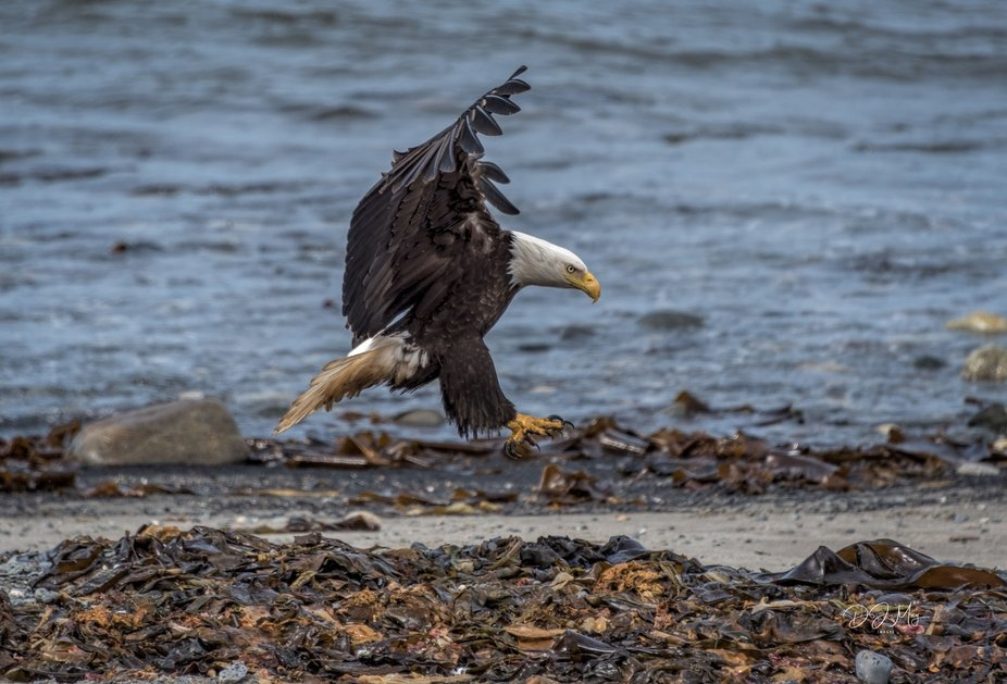 We stopped at Deep Creek in  Alaska and there were about a dozen eagles. Was lucky to catch this ...