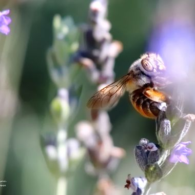 AAmegilla bee