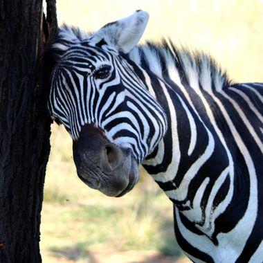 Zebra done