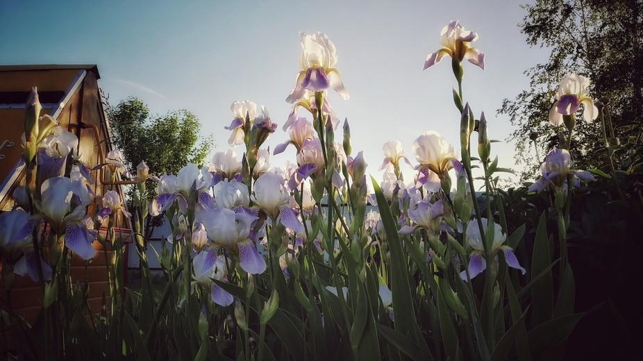 Iris evening