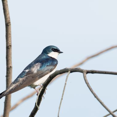 Tree Swallows rarely sit still. This one stayed put for several minutes posing for photos. DSC_4362-4