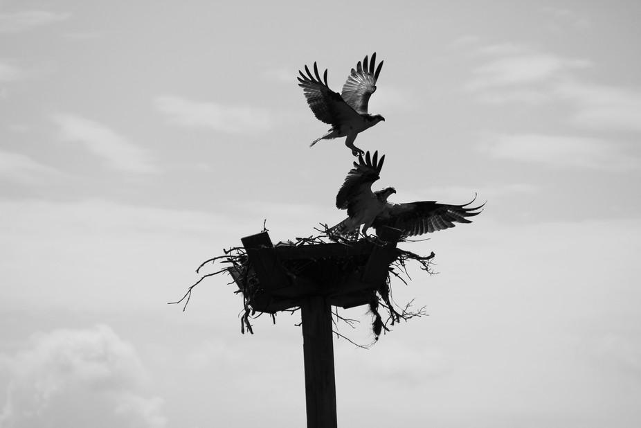 Ospreys Burst