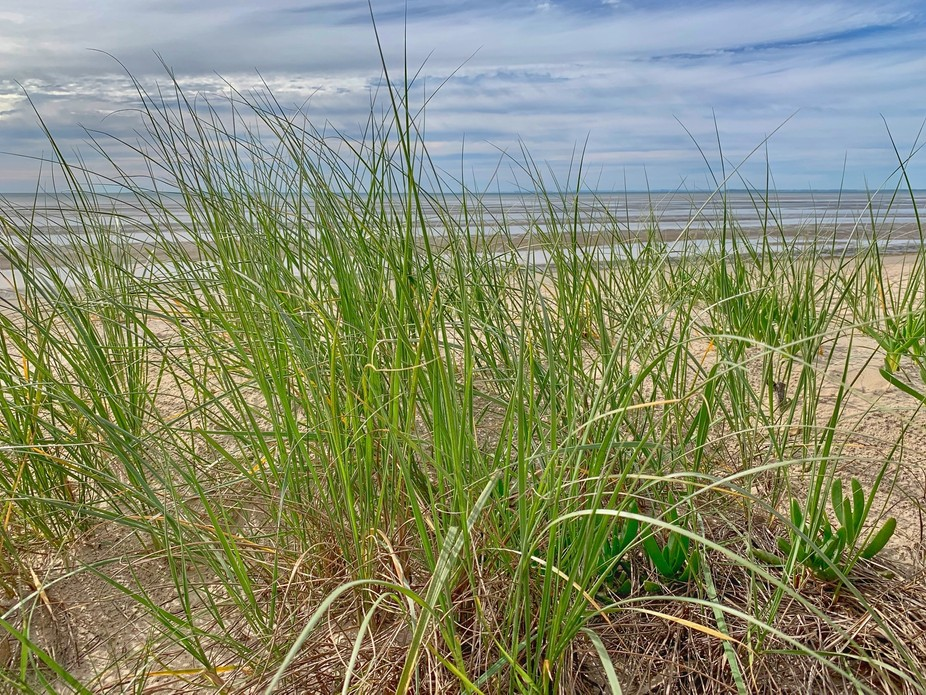 Beach grasses swaying in the gentle breeze