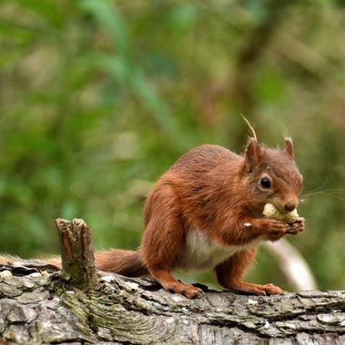 At Morton Lochs Nature Reserve loving watching this cheeky Squirrel enjoying his favourite snack !