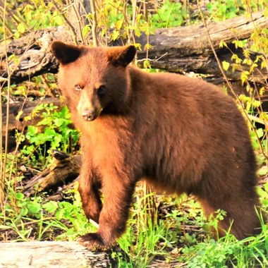 Chance to capture free range bears in a natural environment