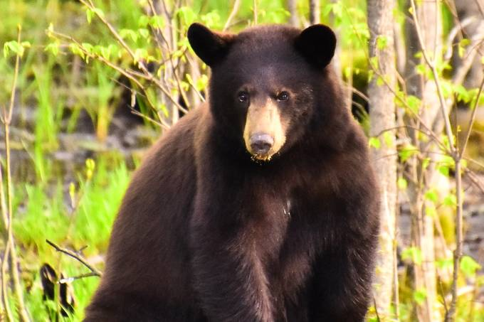 Black bear striking a pose!