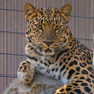 leopard, cat, animal,