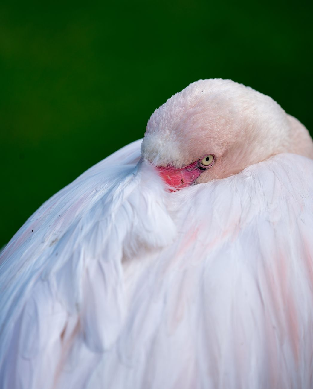 Shy Flamingo, bird, animal, feathers