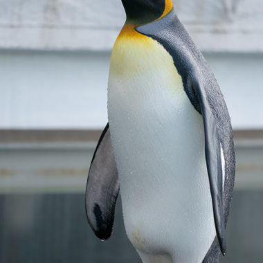 King Penguin got out of the water and starred right at me, then started screaming lol....