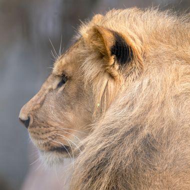 Lion, mammal, animal, cat, feline, nature