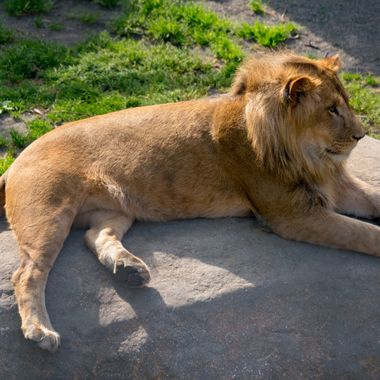 lion, mammal, animal, wildlife, nature