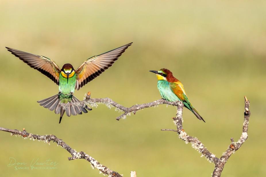 Eurasian Bee Eaters (pair)