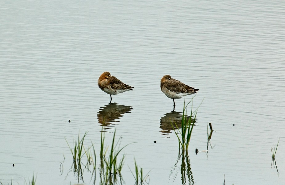 Window on Wildlife, Belfast, RSPB reserve. Lots of Godwits wintering here from Iceland, will move...