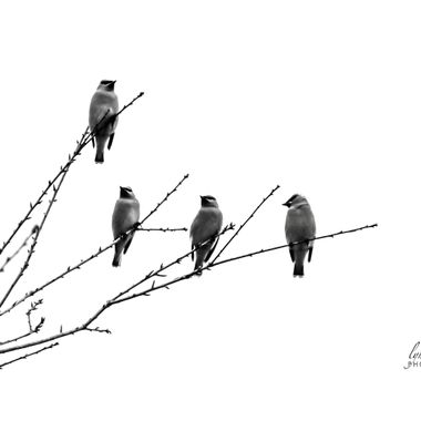 BNW Cedar Wax Wings