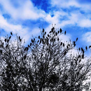 Cedar Wax Wing Flock