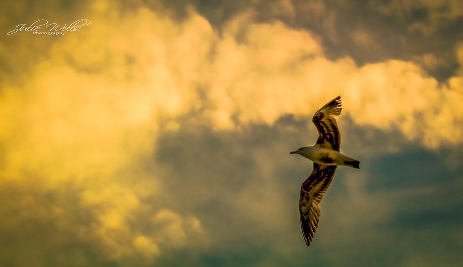 Seagull in the Morning Sun