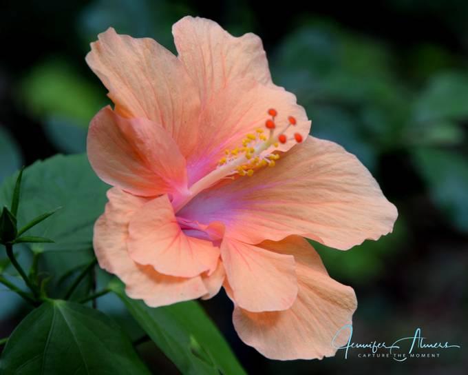 Lavender-throated Hibiscus