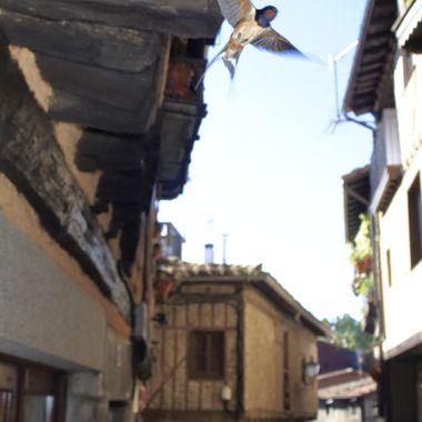 Golondrina comun (Hirundo rustica) por las calles de La Alberca (Salamanca-Spain). Especie que le gusta anidar en las construcciones del mundo rural.
