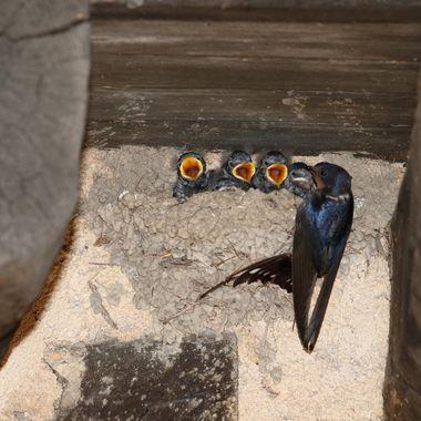 La Golondrina comun (Hirundo rustica), es una especie de ave insectivora africana que viene en Primavera a anidar a España.
