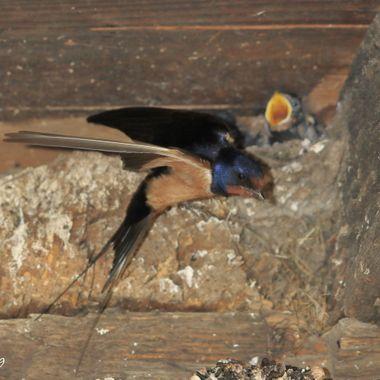 La Golondrina comun (Hirundo rustica), es una especie de ave insectivora africana que viene en Primavera a anidar a España. Es una cazadora de insecto en vuelo.