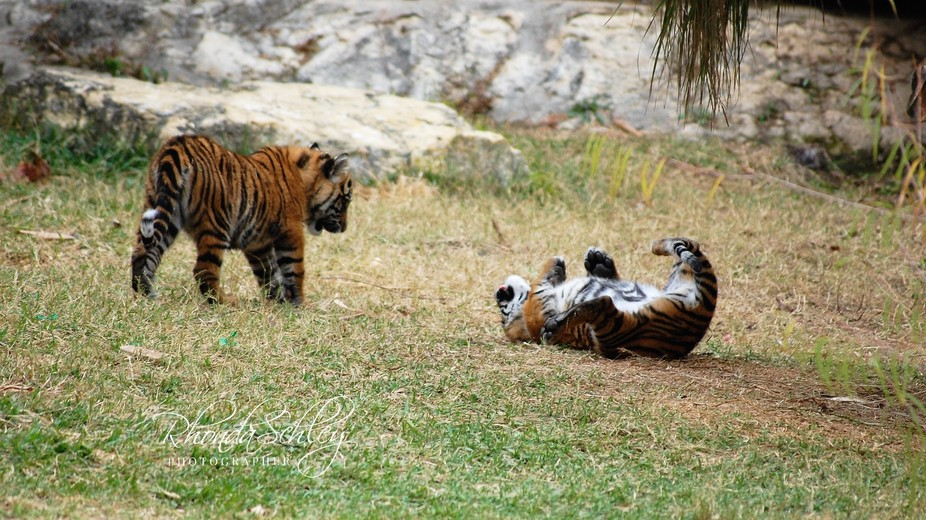 Cubs at Play