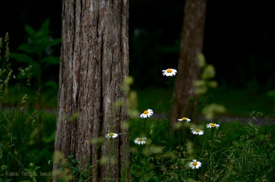 _DSC7529 Wild Daisy with Trees