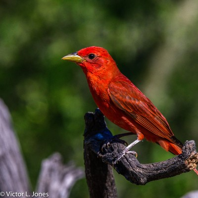 Summer Tanager 6-01-19