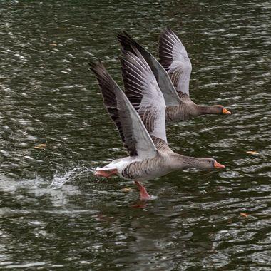 goose-0965