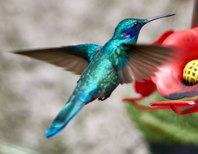 These beautiful birds come to my garden from time to time to have some nectar