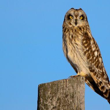 Short Eared Owl 21