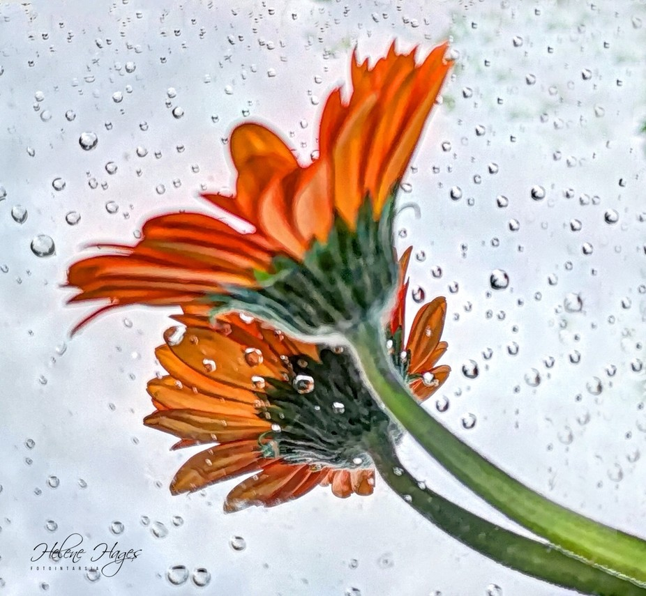 I forgot a mirror lying on the garden table and it began to rain. Later I put a flower on the wet mirror and had a little story of reality and dream.