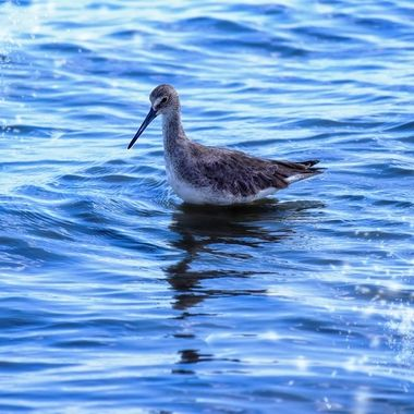 Will the Willet